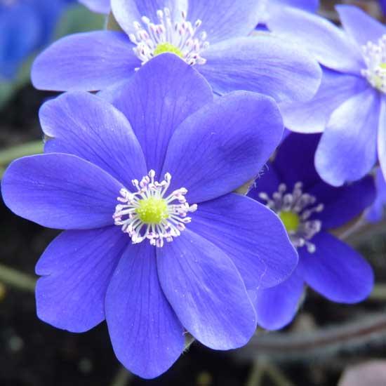 x schlyteri Blue Max-3650