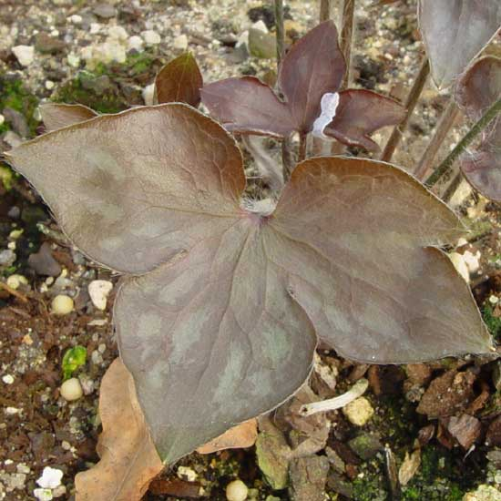 nobilis var. acuta Rosea-3489