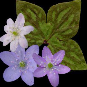 nobilis var. acuta MIX-0