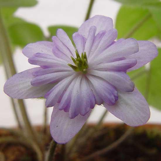 nobilis var. japonica Asahizuru -0