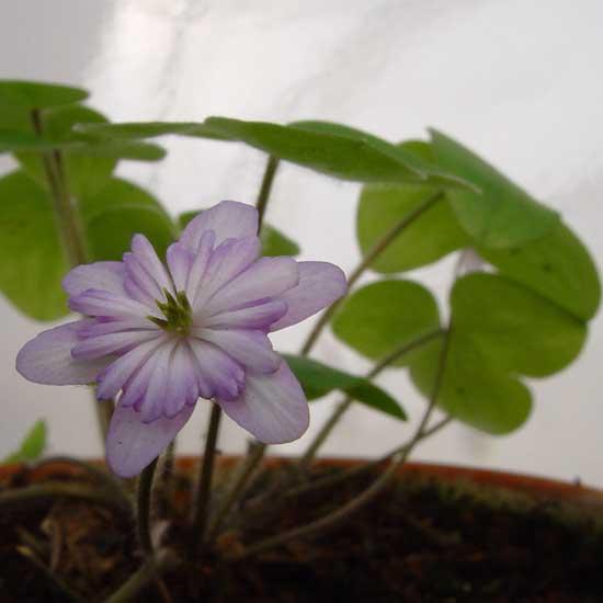 nobilis var. japonica Asahizuru -3791