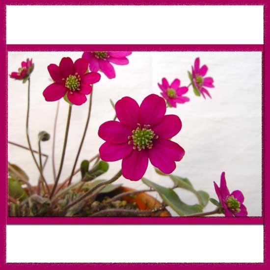 Hepatica nobilis var. japonica Beni-suzume