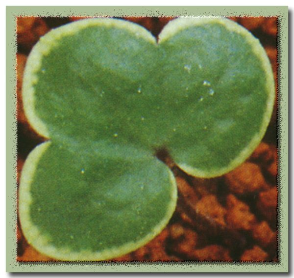 nobilis var. japonica Goldrand-0