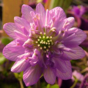 nobilis var. japonica Kawaguchi JP-0