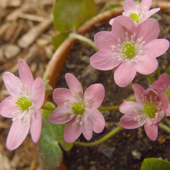 nobilis var. japonica Momo-sango-4259