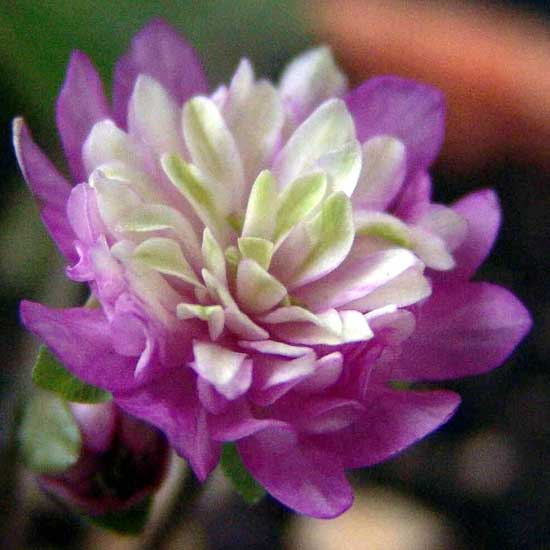 nobilis var. japonica Odoriko-4314