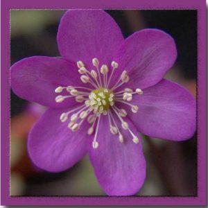 nobilis var. japonica Rosamunde JP -0