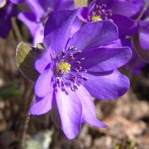 nobilis var. nobilis Blaues Wunder JP -0