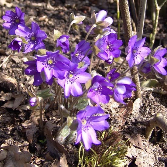 nobilis var. nobilis Blaues Wunder JP -3688