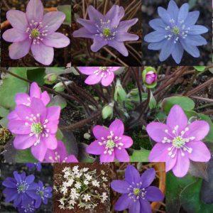 nobilis var. nobilis f. oelandicum Oeland s MIX -0