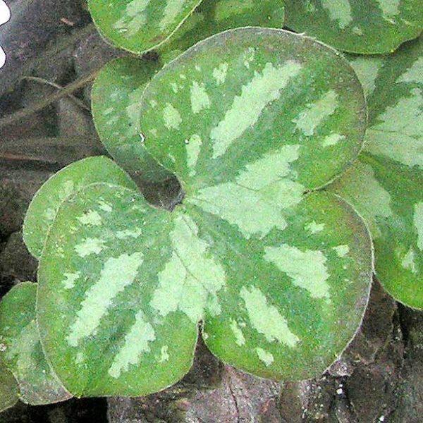 nobilis var. pyrenaica f. marmorata-0