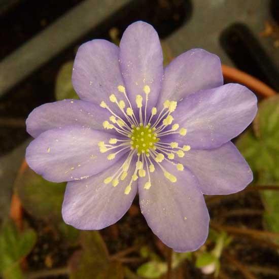 nobilis var. pyrenaica Pyrenäenquelle JP-0