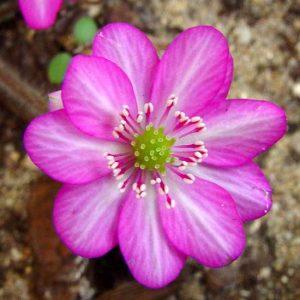nobilis var. pubescens ' Super One JP ' generativ-0