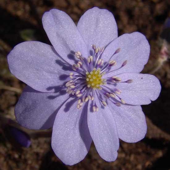 transsilvanica Loddon Blue -0