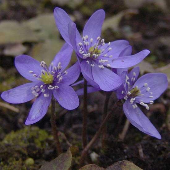 transsilvanica Weinreich's Blau -0