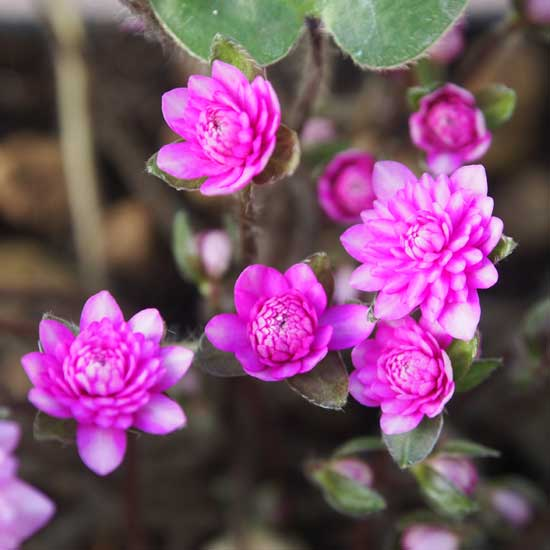 nobilis var. japonica Rinsen (Pink)-9692