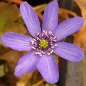 nobilis var. nobilis Polens Blaue-0