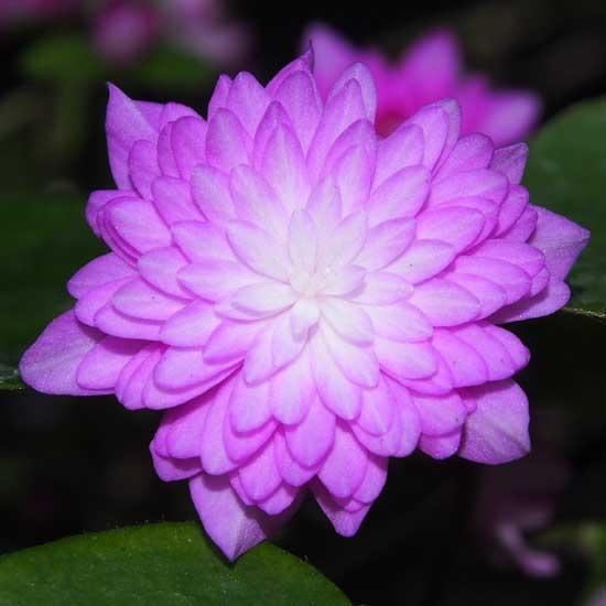 nobilis var. japonica Rinsen (Pink)-0
