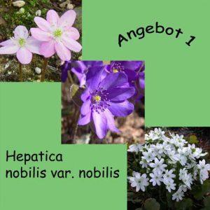 Angebot 1 nobilis var. nobilis -0