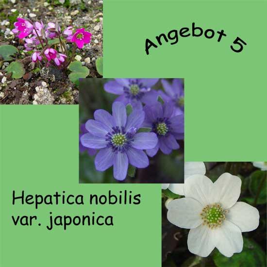 Angebot 5 nobilis var. japonica -0