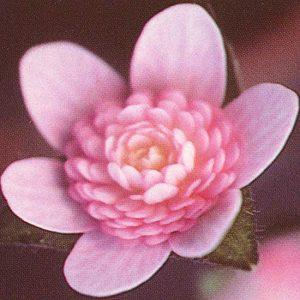 Hepatica nobilis var. japonica Senhime