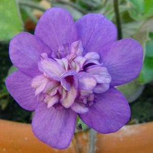 nobilis var. japonica Tamahime -0