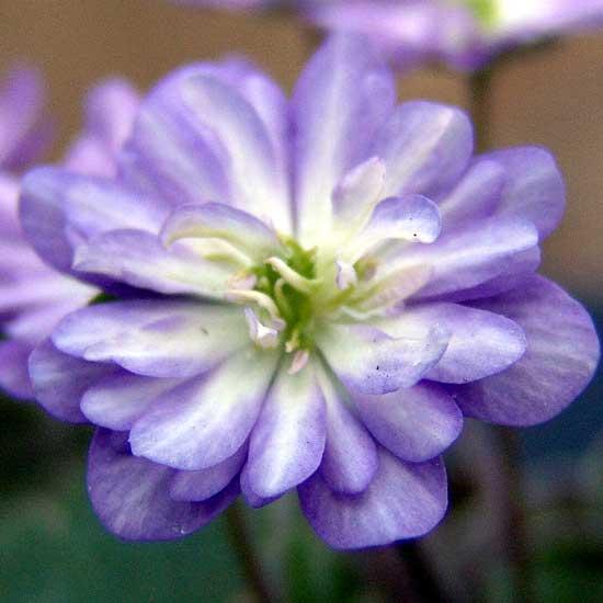 nobilis var. japonica Tousen-4583