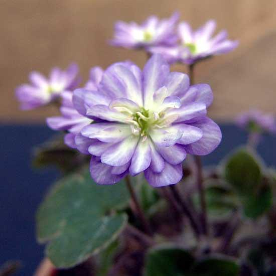 nobilis var. japonica Tousen-4584