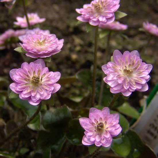 nobilis var. japonica Wakakusa-4641