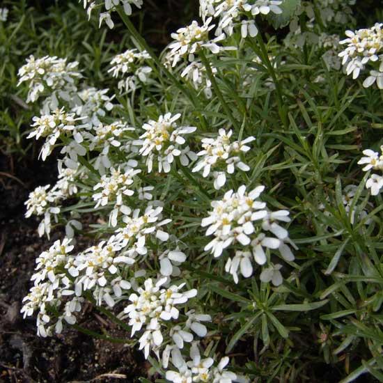 sempervirens Weißer Zwerg ( Little Gem ) -0