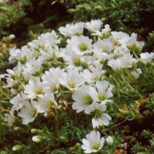 alpinum ssp. lanatum-0