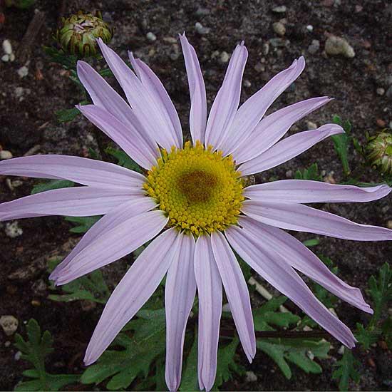 weyrichii (Chrysanthemum)-0
