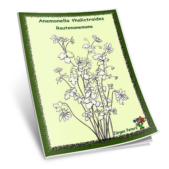 Anemonella thalictroides - Rautenanemone-0