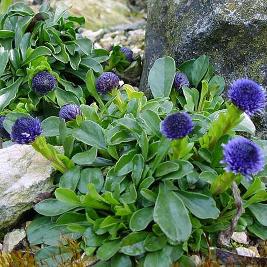trichosantha-0