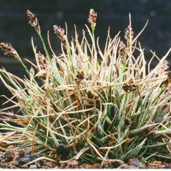 ulophylla-0