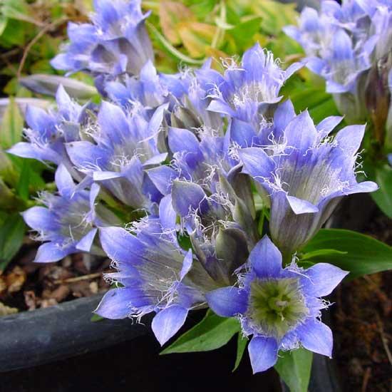 septemfida Blau-Weiß-5706