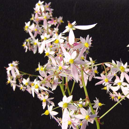Cortusifolia Aislinn JP-0