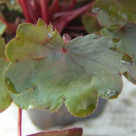 Cortusifolia Ajyhna JP-5451