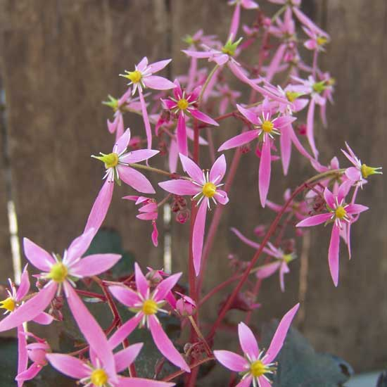 Cortusifolia Ajyhna JP-0