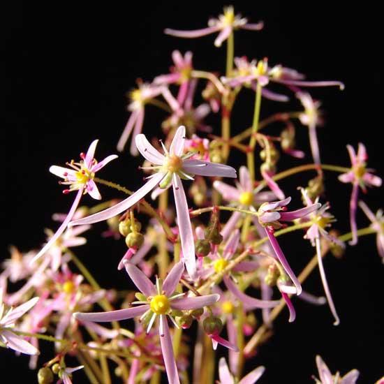 Cortusifolia x obtusocuneata Alaafiel JP-5462