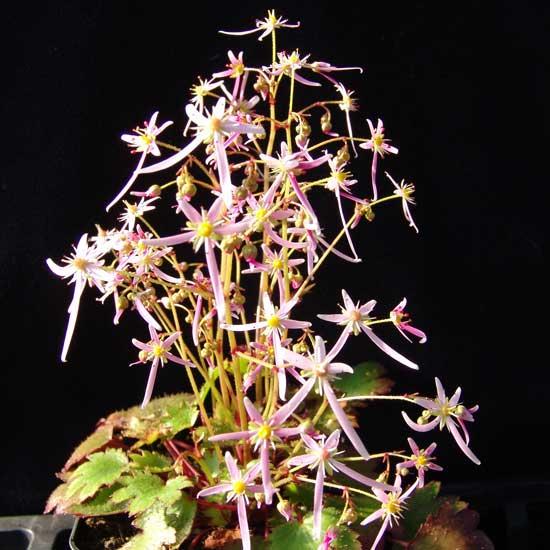 Cortusifolia x obtusocuneata Alaafiel JP-5461