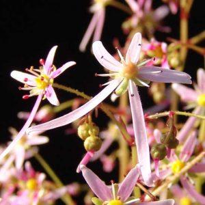 Cortusifolia x obtusocuneata Alaafiel JP-0
