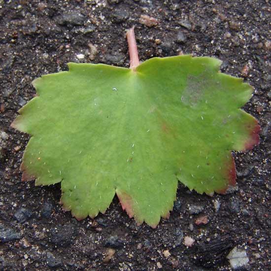 Cortusifolia Alari JP-5476