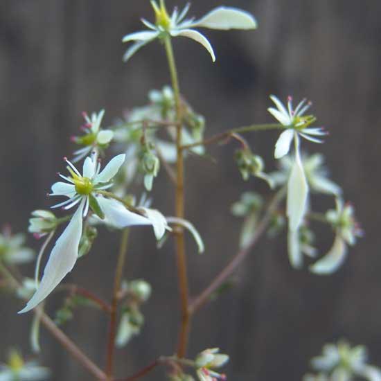 Cortusifolia Cho Chang JP-5526
