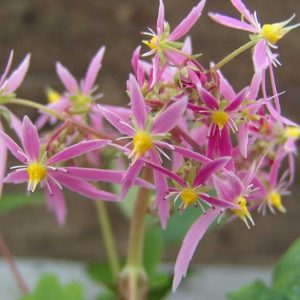 Cortusifolia Dendera JP-0