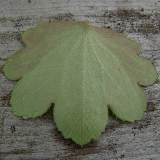 Cortusifolia Dendera JP-5531