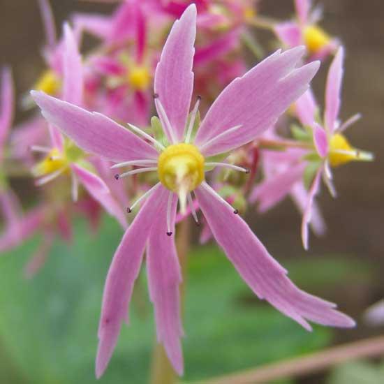 Cortusifolia Dendera JP-5534