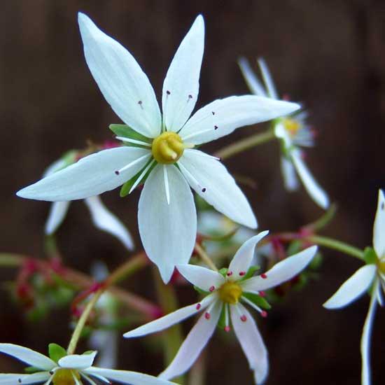 Cortusifolia Ginny Weasly JP-0