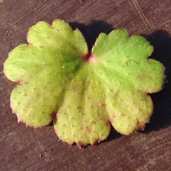Cortusifolia Helga Hufflepuff JP-5576