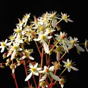 Cortusifolia Helga Hufflepuff JP-0